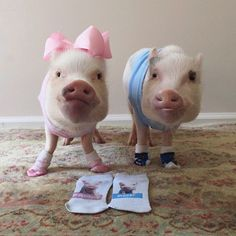 Come on Mom! Put your socks on! We're ready for our sock party!#celebrate #bestfansever #socks #sockhop #sockskating  ThOINKs to all of you who purchased our limited edition Prissy and Pop socks during our two week campaign and made our donation to @fcnmhp possible. We love you and appreciate you helping us #LendAHoof to our fur friends in need! (These socks are no longer available)! #fcnmhp #animalrescue #pink #ballet #PrissyAndPop