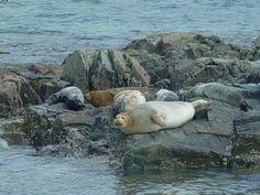 Harbor seals at Acadia National Park