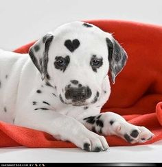 hmmm. They say you can see animals in the clouds, well what about hearts in spots? Aaaawwww I have to show this to my mother in law. That is the cutest spot ever!: Puppies, Animals, Dogs, Sweet, Pets, Puppys, Adorable, Dalmatians
