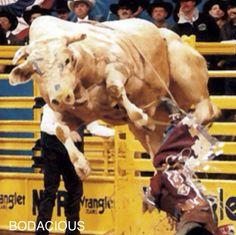 Bodacious: Most Dangerous Bull Ever. His offspring still ...