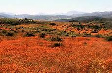 Namaqua Daisies in Namaqualand South Africa