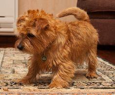 Norfolk Terrier!