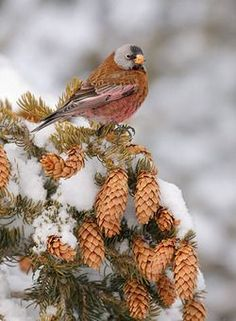 Bird resting on snowy evergreen with pinecones.*****Follow our unique garden themed boards at www.pinterest.com/earthwormtec *****Follow us on www.facebook.com/earthwormtec for great organic gardening tips