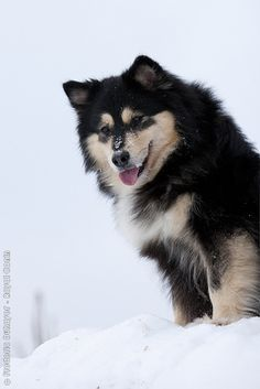 Finnish Lapphund - One of my favorite breeds. Like a husky, but a herder, not a sled dog.