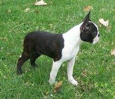 Full-Grown Miniature Boston Terrier Puppies Here is why I love Boston Terrier