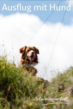 Wer auf der Suche nach hundefreundlichen Ausflugszielen ist, sollte unbedingt das Weinviertel besuchen. Neben zahlreichen Wanderwegen, bei denen sich dein Vierbeiner so richtig austoben kann, heißen auch viele Ausflugsziele Hunde herzlich willkommen. Für einen Tagesausflug mit Hund bietet sich bspw. das Museumsdorf Niedersulz oder die Fossilienwelt Stetten an. Welche anderen hundefreundlichen Ausflugsziele sonst noch auf euch warten, erfährst du hier. © Weinviertel Tourismus / Himml Dogs, Animals, Day Trips, Waiting, Welcome, Tourism, Road Trip Destinations, Animales, Animaux