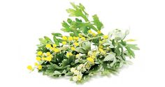 Harmful Organism Cleansing: The Benefits of Wormwood - artemisia absinthium Herbal Remedies, Herbal Magic, Natural Cures, Natural Healing, Artemisia Absinthium, Medicine Garden, Lawn Care Tips, Health, Beauty