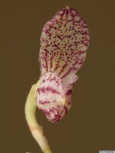 Spurred Half-flower Bulbophyllum (Bulbophyllum centrosemiflorum)