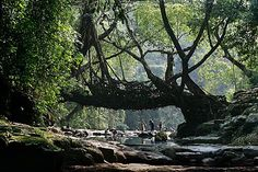 Meghalaya, India - Living Root bridges.