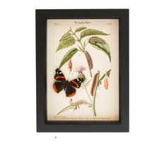 "Archival+reprint+of+Red+Admiral+life+cycle+with+real+specimen.+  SPECIES: Vanessa+atlanta FRAME+SIZE:+ 6""+x+8""+x+1.25"" FRAME+COLOR:+pick+from+BLACK,+WHITE,+OR+DARK+WALNUT. MUSEUM+QUALITY+SHADOWBOX:+UV+blocking+conservation+glass,+gallery+style+frames,+archival+papers.+ Also+comes+with+interesting+natural+history+information.  See+why+our+insect+frames+are+the+TOP+CHOICE of+interior+designers,+museums+and+customers."
