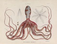 Octopus in Histoire naturelle, générale et particulière des céphalopodes acétabulifères vivants et fossiles (1835) #Booktower