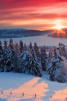 Brilliant sunrise peaking over the distant purple mountain in the red streaked clouds casts long pink shadows of the snow covered fir Christmas trees.