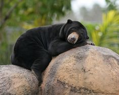 sun bear | Description Malaysian Sun Bear.jpg