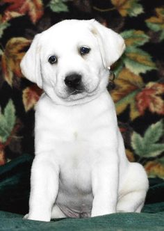 Mind Blowing Facts About Labrador Retrievers And Ideas. Amazing Facts About Labrador Retrievers And Ideas. English Labrador, White Labrador, Black Labrador Retriever, Retriever Puppy, Labrador Retrievers, White Lab Puppies, Cute Puppies, Cute Dogs, Dogs And Puppies