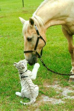 horse tiger pics friends