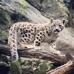 We're raising cubs and cutting prices! Visit bronxzoo.com to get 20% off tickets. #snowleopard #tgif #bronxzoo #jlmaher by bronxzoo