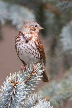 A Fox Sparrow. Not one of them will fall to the ground apart from the will of our Father. You are worth more than many sparrows....Matt. 10:29-31