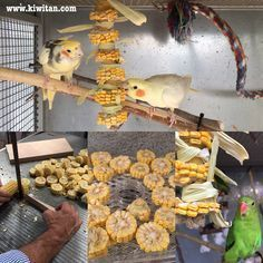 Making DIY parrot toys with dried corn slices. fresh works, too! - Please use organic :) Diy Parrot Toys, Diy Bird Toys, Diy Toys, Parrot Pet, Homemade Bird Toys, Bird Aviary, African Grey Parrot, Conure, Budgies