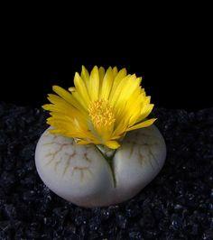 Lithops pseudotruncatella ssp archerae C 306