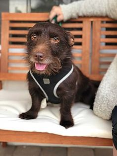 KEY BISCAYNE, FL - BROWNIE is  a WEST HIGHLAND TERRIER/DACHSUND for adoption who needs a loving home.