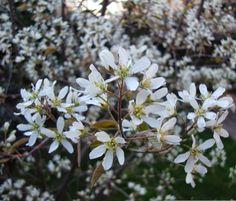 Amelanchier lamarckii in fiore, nel mio giardino http://lefotodiluisella.blogspot.it/2015/04/amelanchier-lamarckii.html