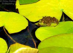 American bullfrog; green, yellow and brown frog on yellow lily pad; ribbit!
