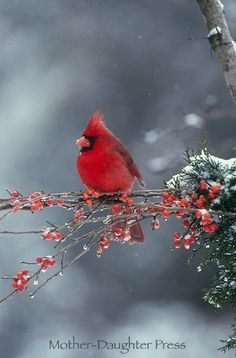 Male northern cardinal bird in winter snow storm on branch of red berries