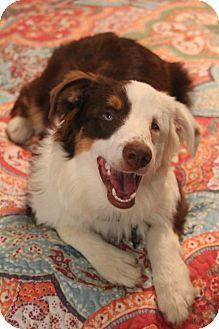 Allentown, PA - GOOFY FOOT DOG RESCUE, Australian Shepherd. Meet Finnegan, a puppy for adoption. Finnegan is bind in one eye, has very limited vision in the other. http://www.adoptapet.com/pet/13209050-allentown-pennsylvania-australian-shepherd