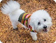 Gerard the Bichon Frise Mix looks so cute!