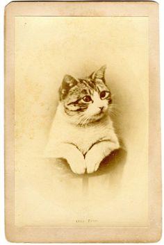 Victorian photograph of a cat, ca. 1880-1890.