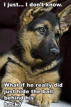 GSD Puppy