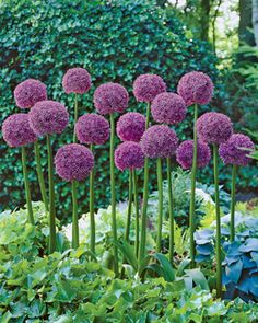 Allium, Globemaster  Plant in fall for spring blooms.  Same plant I liked outside Dreyer's Farm.
