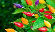 Garda Pepper Livingston Seed