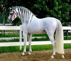 Pura Raza Española stallion, Bullidor.