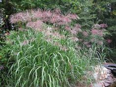 Learn more about Miscanthus and its rich history, a grass landscape icon in Europe and North America for well over a hundred years. Plants, Grass, Landscape, Herbs, Grasses Landscaping