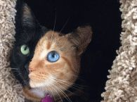 Amazing ! Venus, a five year old moggie from North Carolina, has a genetic condition called chimera, which causes cells to ignore an overall uniformity, giving her both the face of a black cat with green eyes, and a brown cat with blue eyes - perfectly split.