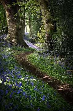 Peaceful Forest -Derbyshire, England / This looks very similar to our floral ground covered Path on the West Wood Side, tree and all ...Michigan