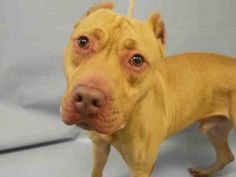 ♦ KILLED 11-17-2015 ♦ VERY URGENT – DOH HOLD 10/28/15 – CHASE aka JULUU – A1056272   Sweet male pit bull ter. mix, 3 years old   STRAY – HOLD FOR DOH-B   Manhattan Center   I don't want to come back at the shelter ever again. Dear, beloved human, I'M SWEET AS LOVE, COME AND TAKE ME YOUR HOME ♥ http://dogarchives.urgentpodr.org/juluu-a1056272/
