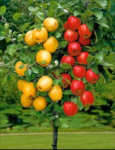 Cheap garden home, Buy Quality little garden directly from China dwarf trees Suppliers: chwy Dwarf tree 20 Seeds Pick Delicious Fruits In Your Backyard Easy -growing bonsai FruitFree Soil planted Little Garden home Fruit Plants, Bonsai Plants, Home Garden Plants, Fruit Garden, Apple Fruit, Fruit And Veg, Tropical Fruits, Colorful Fruit, Bonsai Apple Tree