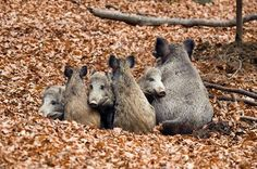 Wild Boar Family Weave ... Matrioska Photo by Alessio Mesiano -- National Geographic Your Shot