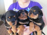 Gumtree Rottweiler Puppies Pitbullpuppiesgumtree Rottweiler Puppies Pitbull Puppies Rottweiler