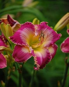 Daylily (Hemerocallis 'Mountains Bow Down') uploaded by pixie62560