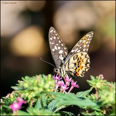 https://flic.kr/p/yBiZ9h | (2163) Papallona | Butterfly Fort - El Jardín del Papagayo  Quim Granell Freelance Photographer  © All rights reserved  Contact: quimgranell@cmail.cat