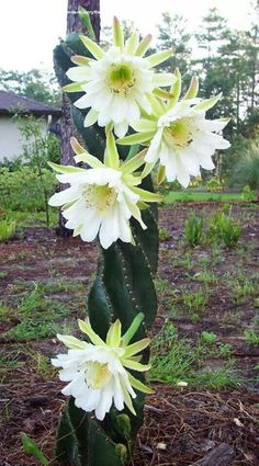 Cereus Peruvianus in bloom – Balkon, Terrasse und Garten – Cactus Unusual Flowers, Unusual Plants, Exotic Plants, Amazing Flowers, Good Morning Beautiful Flowers, Succulent Gardening, Cacti And Succulents, Planting Succulents, Planting Flowers