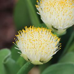 HAEMANTHUS ALBIFLOS - Evergreen bulbous perennial. The plant may have up to 3 pairs of leaves. Flower in late autumn and winter, the paintbrush like umbels comprising tiny white florets are borne on stout stems. The bulb lies dormant during Summer. The flowers have a faint scent, and the fruits are also fragrant and brightly coloured. Ideal in a pot or raised garden bed (they don't like wet feet). Prefers a part shade position.