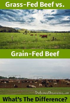 Grass-Fed vs Grain-Fed Beef – Grass-fed usually contains less total fat than grain & contains fewer calories. composition of fatty acids is vastly different,  grass-fed beef has either similar, or slightly less, saturated and monounsaturated fats. both contain very similar amounts of Omega-6 fatty acids. grass-fed contains up to 5 x as much Omega-3. grass-fed beef contains 2x as much CLA as grain-fed beef.  #grassfed #grainfed #beef #realfood #sustainable