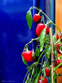 Paprika by Art Rock (Hennie), via Flickr - Belgium