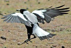 Maria Island Magpie