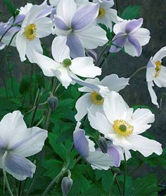 Anemone Wild Swan™, Plant of the Year 2011 Chelsea Flower Show. Part Shade Perennials, Flowers Perennials, Planting Flowers, Flowers Garden, Fall Planting, Herbaceous Perennials, Hardy Perennials, White Flower Farm, White Flowers