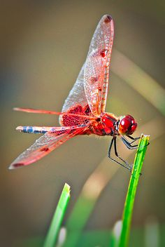 Red Dragonfly Photography by AdamGeoffrey, via Flickr